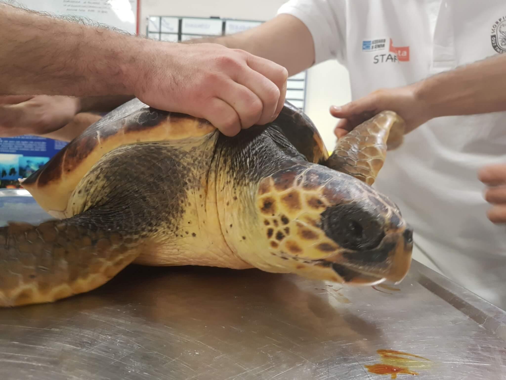 Genova 5 caretta caretta tornano in mare domani evento for Acquario di tartarughe