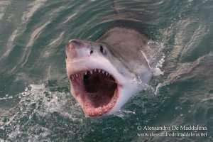 """""""Perché l'uomo non deve avere paura degli squali"""" conferenza di Alessandro de Maddalena @ Auditorium Galata Museo del Mare"""